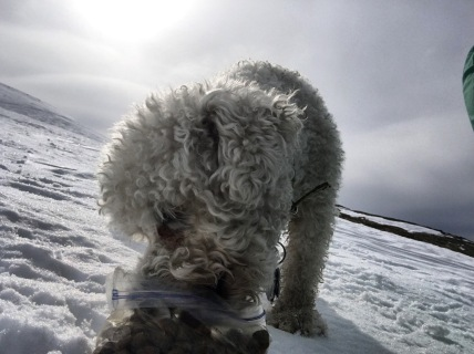 Augie the Bichon, snacking hard