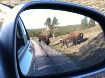Bison crossing!